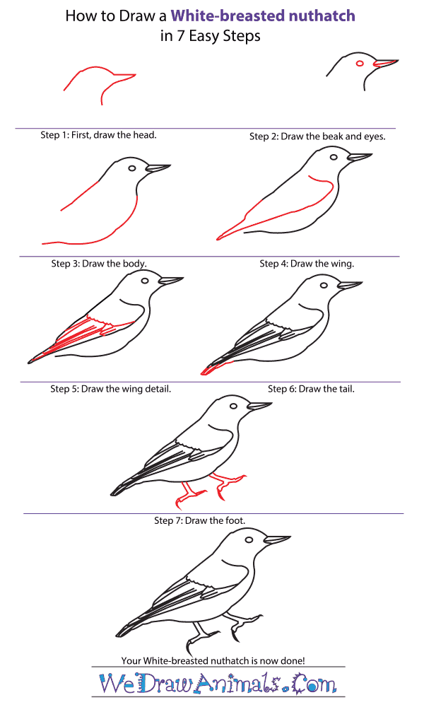 How to Draw a White-Breasted Nuthatch - Step-by-Step Tutorial