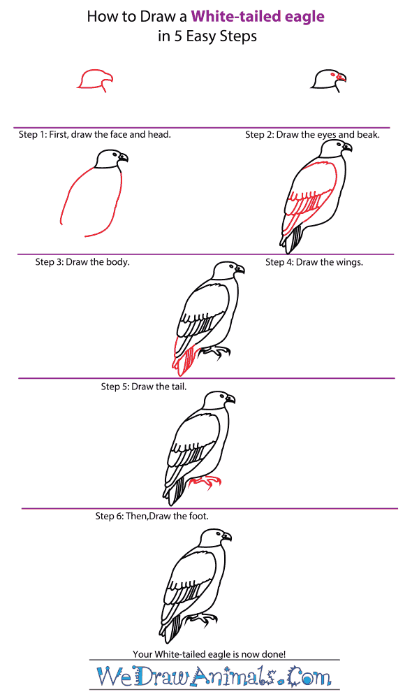 How to Draw a White-Tailed Eagle - Step-by-Step Tutorial