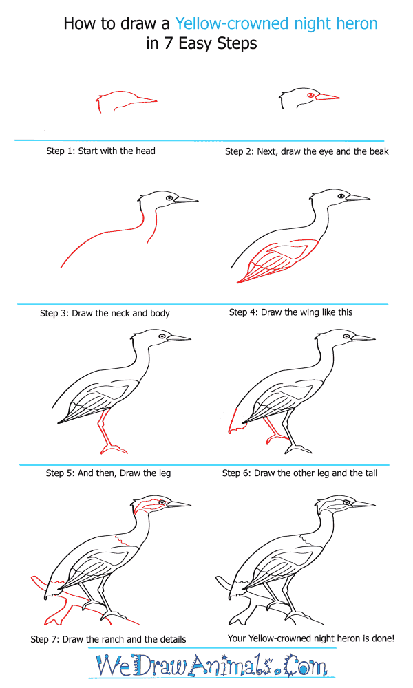 How to Draw a Yellow-Crowned Night Heron - Step-by-Step Tutorial