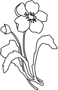 how to draw a california poppy step by step