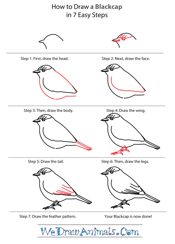 How to Draw a Blackcap - Step-by-Step Tutorial
