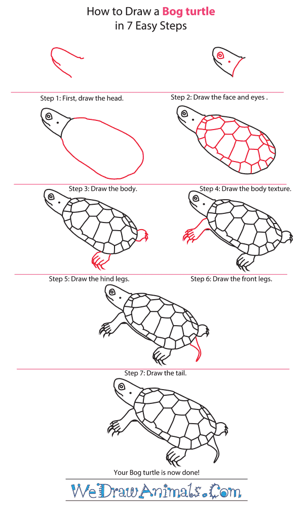 How to draw a bog turtle step by step tutorial