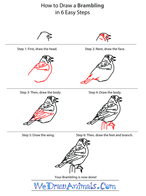 How to Draw a Brambling - Step-by-Step Tutorial