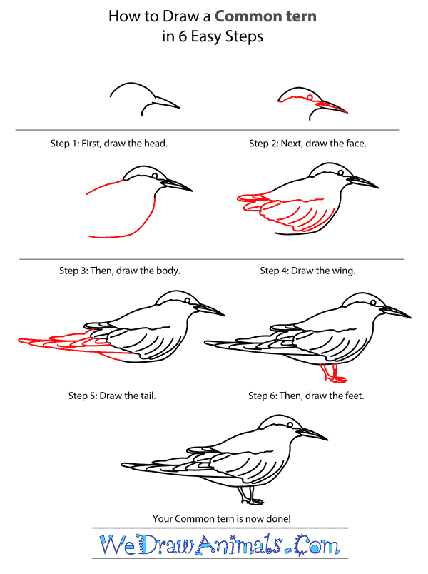 How to Draw a Common Tern - Step-by-Step Tutorial