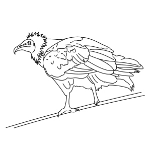 egyptian-vulture-thumb