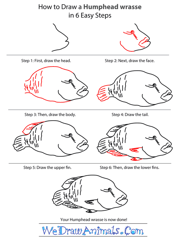 How to Draw a Humphead Wrasse - Step-by-Step Tutorial