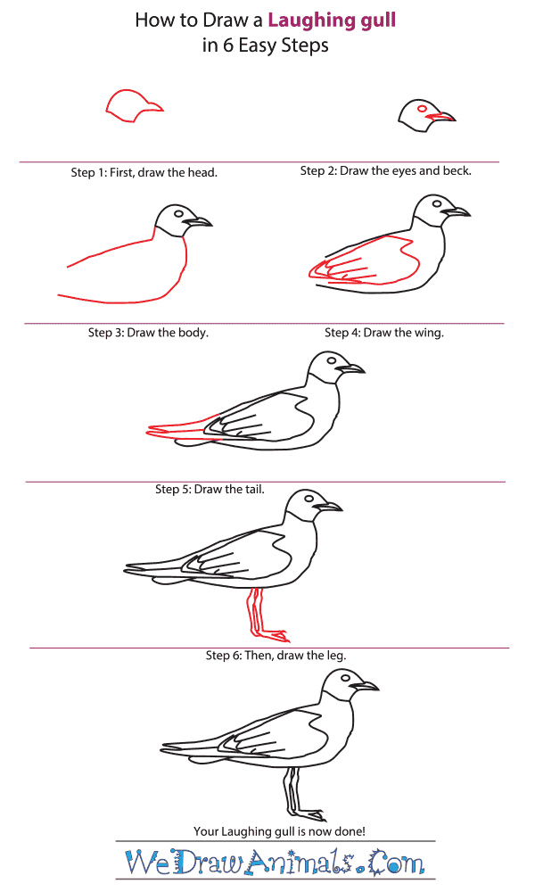 How to Draw a Laughing Gull - Step-by-Step Tutorial