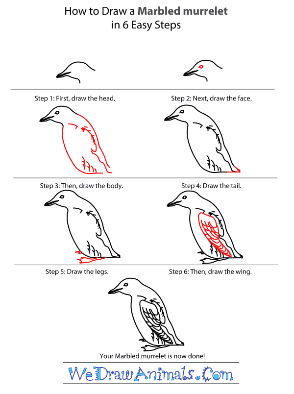 How to Draw a Marbled Murrelet - Step-by-Step Tutorial
