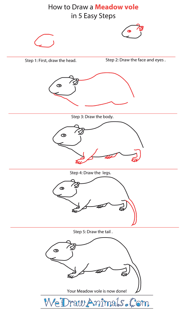 How to Draw a Meadow Vole - Step-by-Step Tutorial