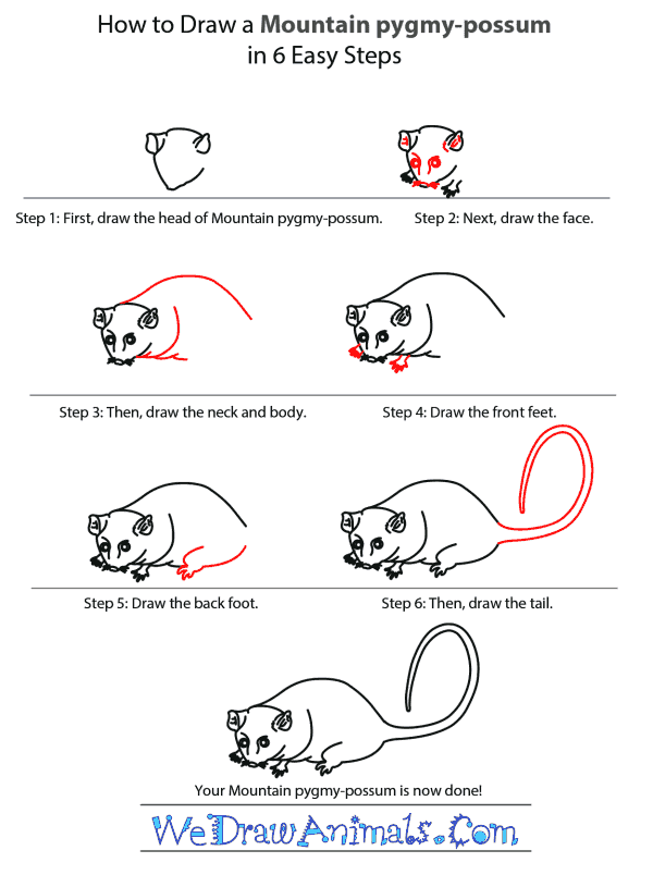 How to Draw a Mountain Pygmy-Possum - Step-by-Step Tutorial