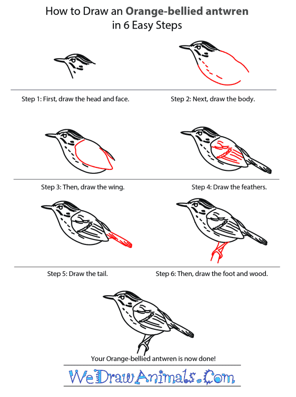 How to Draw an Orange-Bellied Antwren - Step-by-Step Tutorial