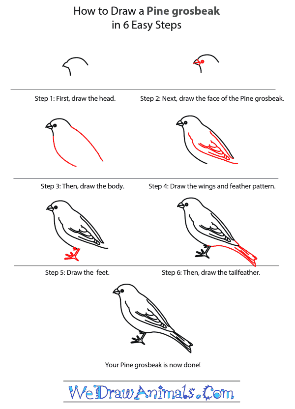 How to Draw a Pine Grosbeak - Step-by-Step Tutorial