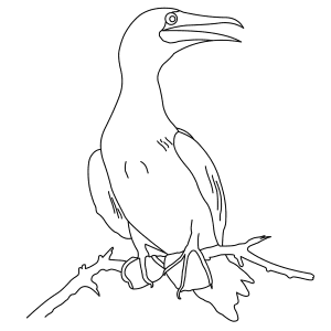 red-footed-booby-thumb