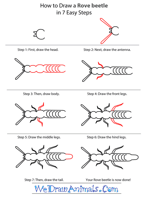 How to Draw a Rove Beetle - Step-by-Step Tutorial