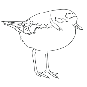 snowy-plover-thumb