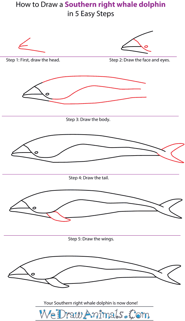 How to Draw a Southern Right Whale Dolphin - Step-by-Step Tutorial