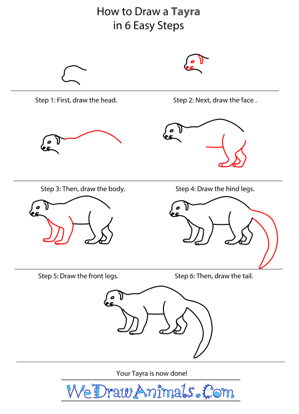 How to Draw a Tayra - Step-by-Step Tutorial