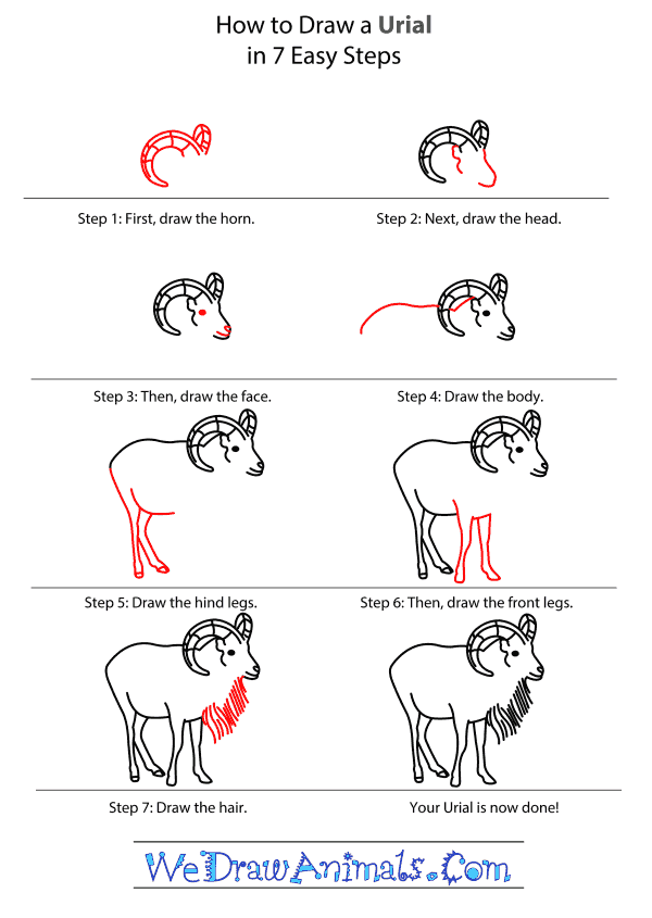 How to Draw an Urial - Step-by-Step Tutorial