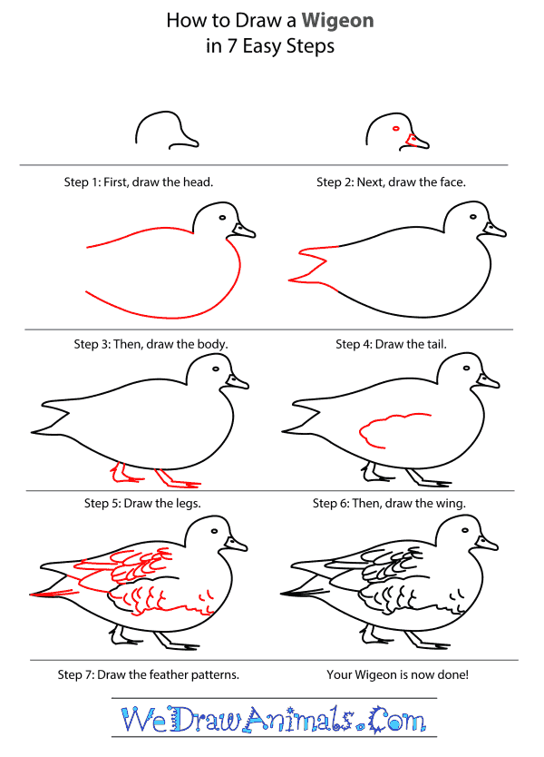 How to Draw a Wigeon - Step-by-Step Tutorial