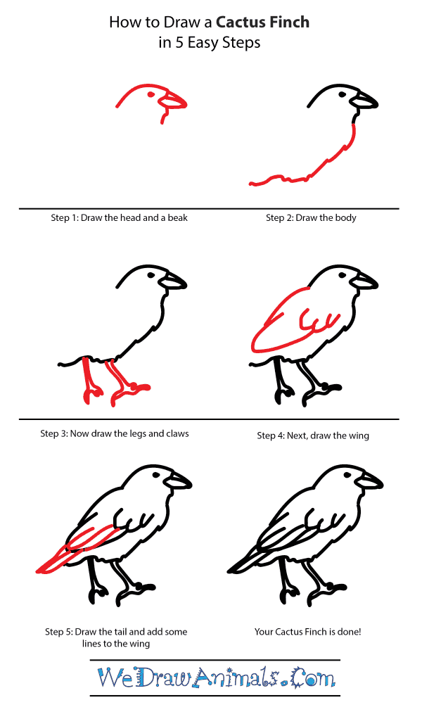 How to Draw a Cactus-Finch - Step-by-Step Tutorial