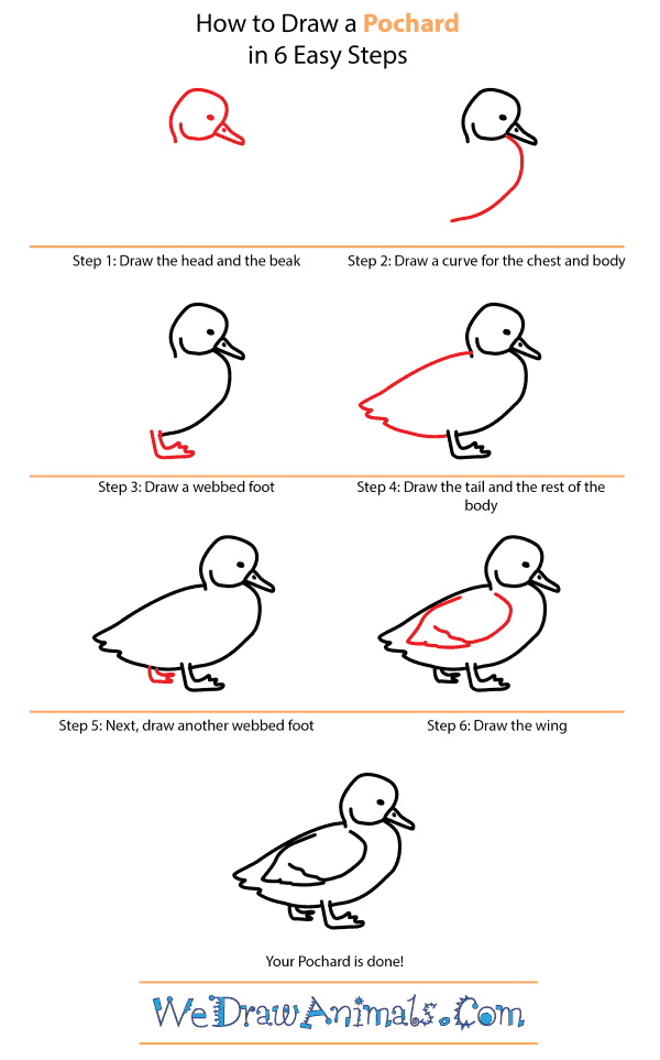 How to Draw a Pochard - Step-by-Step Tutorial