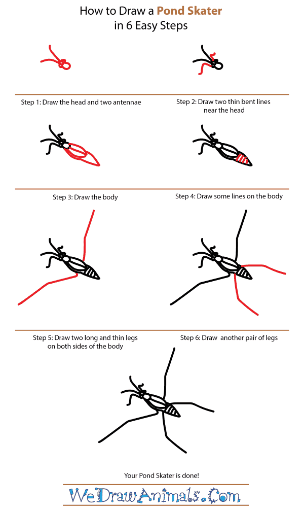 How to Draw a Pond Skater - Step-by-Step Tutorial