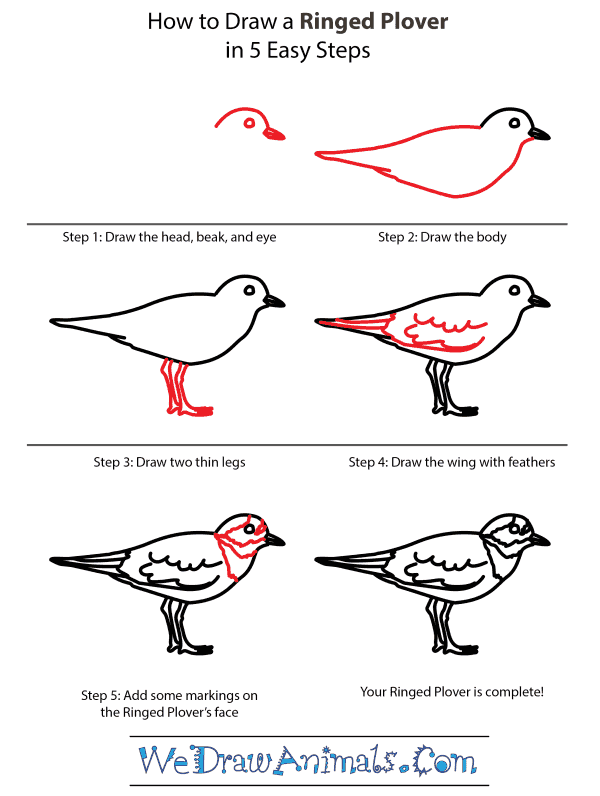 How to Draw a Ringed Plover - Step-by-Step Tutorial