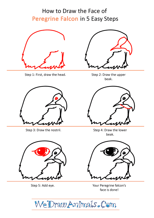 How to Draw a Peregrine Falcon Face - Step-by-Step Tutorial
